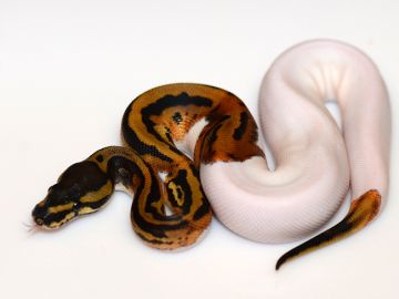 1.0 cb20 Pied poss Leopard/and or Ringer