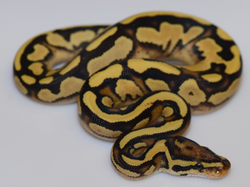 0.1 cb20 Fire Russo Yellow Belly poss Enchi