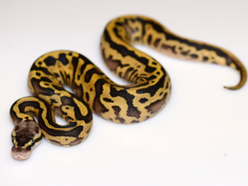 0.1 cb20 Pastel Leopard Yellow Belly/Spark