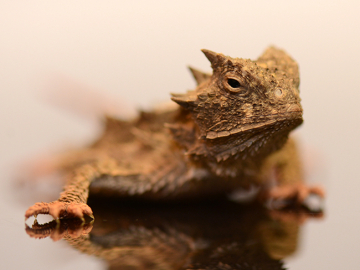 Giant Horned Lizard, yearling, U, cb19