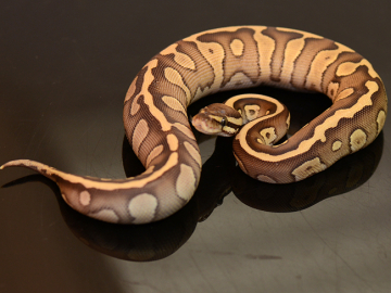 Ball Python, Butter confusion, F, cb19