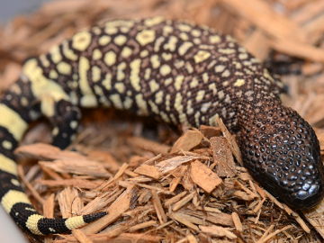 0.0.1 cb20 Mexican Beaded Lizard