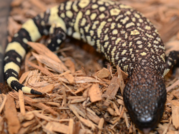 Mexican beaded lizard, U, cb20