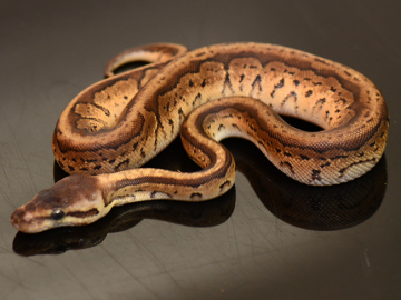 Ball Python, Blackhead lemonblast het red ax, M, cb20