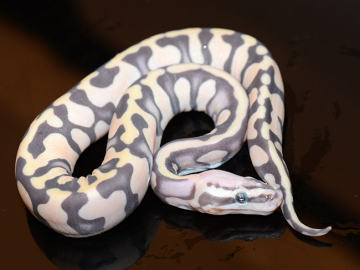 Ball Python, Super micro enchi butter, M, cb19