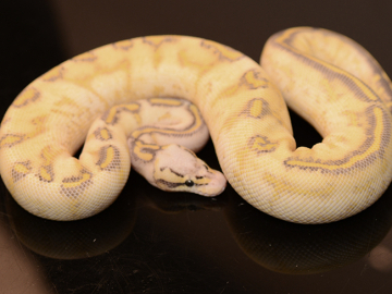Ball Python, Firefly highway 66% poss het clown, M, cb19