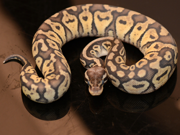 Ball Python, Super pastel chocolate, F, cb19
